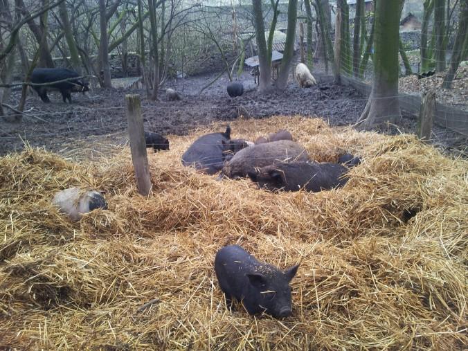 Schweine im Heu