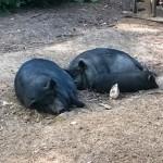 Wüstenschwein